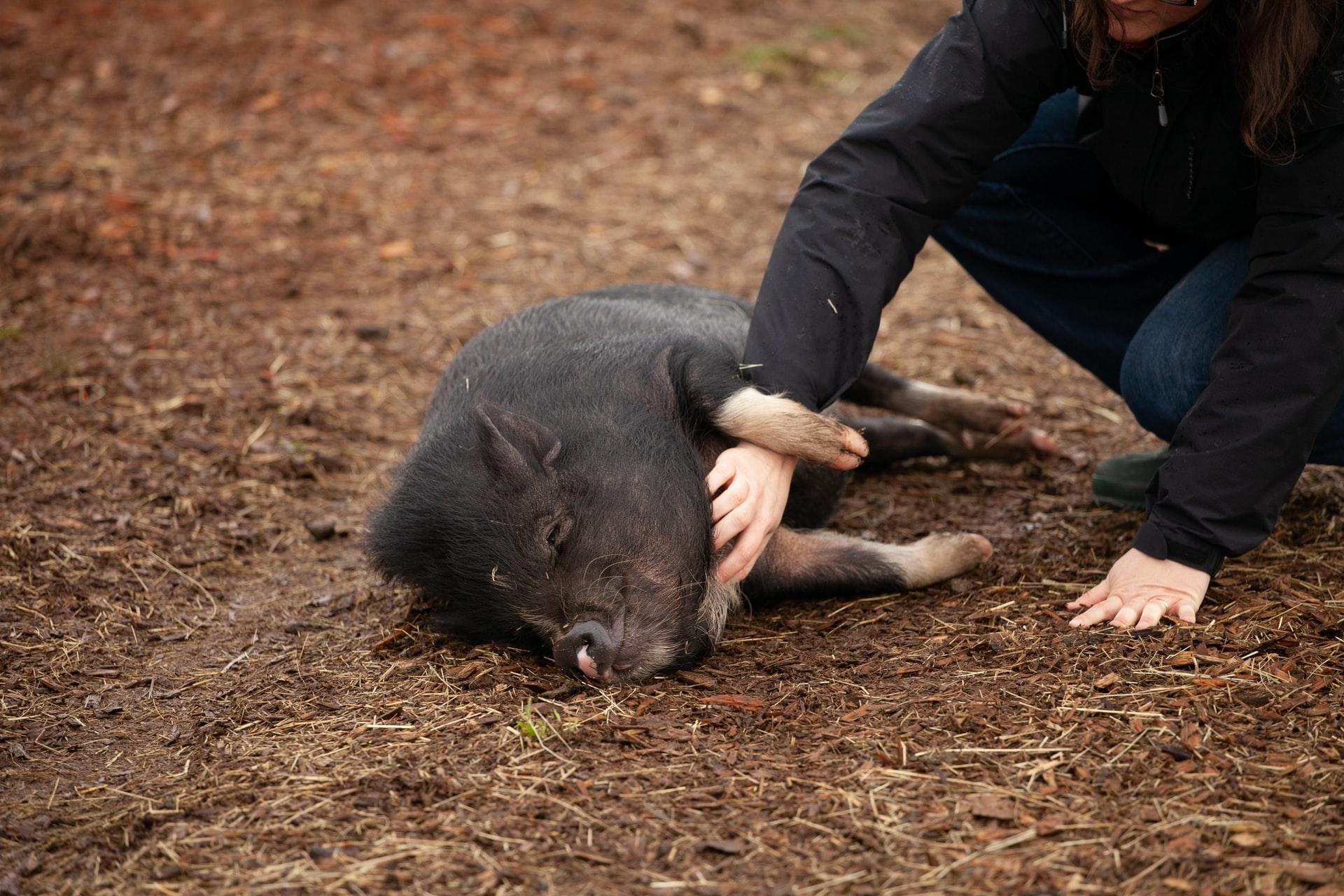 Schwein wird gestreichelt